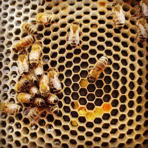 Пчелна пита с пчели